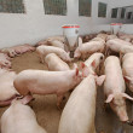 gris gård — Stockfoto