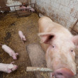 Sow pig with piglets — Stock Photo #24143283