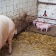 Sow pig with piglets — Stock Photo #24143383