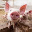 Pig farm — Stock Photo #24143701