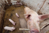 Sow pig with piglets — Stock Photo