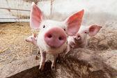 Granja de cerdos — Foto de Stock