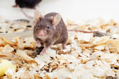 Brown mouse sawdust — Stock Photo