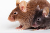 Two mouses — Stock Photo
