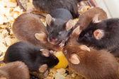 Groupe de souris — Photo