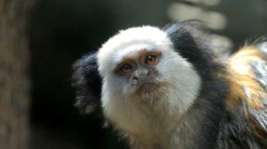 White-headed marmoset — Stock Video
