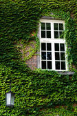 Window on green ivy and lantern on the wall — Stock Photo