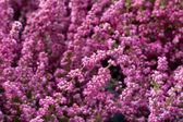Cestas de colores brillantes de heather en un día soleado — Foto de Stock