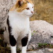 Tri-color cat who lives in the ruins of Athens, Greece — Stock Photo