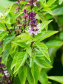 Basil flowers in the garden — Stock Photo