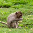 Stock Photo: Monkey Baby