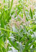 Flor de caña de maíz — Foto de Stock