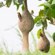 Baya weaver bird nest — Stock Photo #14442907