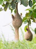Baya weaver bird nest — Stock Photo