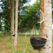 Tapping latex from Rubber tree — 图库照片