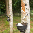 Foto Stock: Tapping latex from Rubber tree