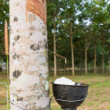 Foto Stock: Tapping latex from Rubber tree plantation