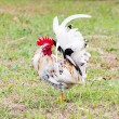 White Bantam — Stock Photo