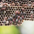Nest of Hornet — Stock Photo