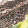 Nest of Hornet — Stock Photo #18031199