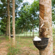 Tapping latex from Rubber tree — Stockfoto #18264647