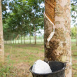 Tapping latex from Rubber tree — Stock Photo