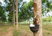 Tapping latex from Rubber tree — Stok fotoğraf