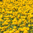 Marigold field — Stock Photo