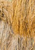 Dry paddy rice — Stock Photo