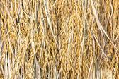 Suchý neloupané rýže — Stock fotografie