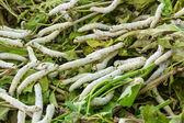 Silkworm — Stock Photo