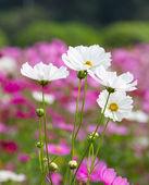 белый космос цветы — Стоковое фото