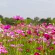 Pink cosmos flowers — Stock Photo #20989403
