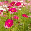Stock Photo: Pink cosmos flowers