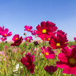 White and pink cosmos flowers — Stock Photo