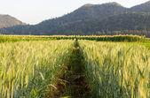 Green barley field — Stock Photo