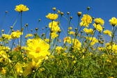 Yellow cosmos flowers — Stock Photo