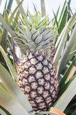 Pianta di ananas — Foto Stock