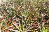 Piña plantatio — Foto de Stock