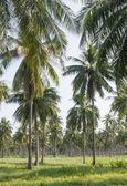 Coconut plantation — Stock Photo