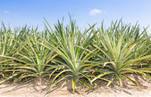 Pineapple plantatio — Stockfoto