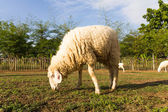 Sheep grazing in the farm — Stock Photo