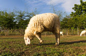 Sheep grazing in the farm — Stok fotoğraf