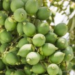 Stock Photo: Are-ca Nut Palm On Tree