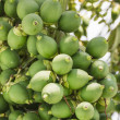 Are-ca Nut Palm On Tree — Stock Photo