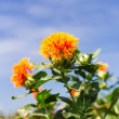 Safflower — Stock Photo #26062753