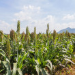 Sorghum field — Stock Photo