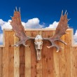 Skull Moose hung on wall — Stock Photo