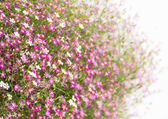 Gypsophila flower — Stock Photo