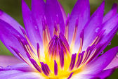 Purple water lilly — Stock Photo